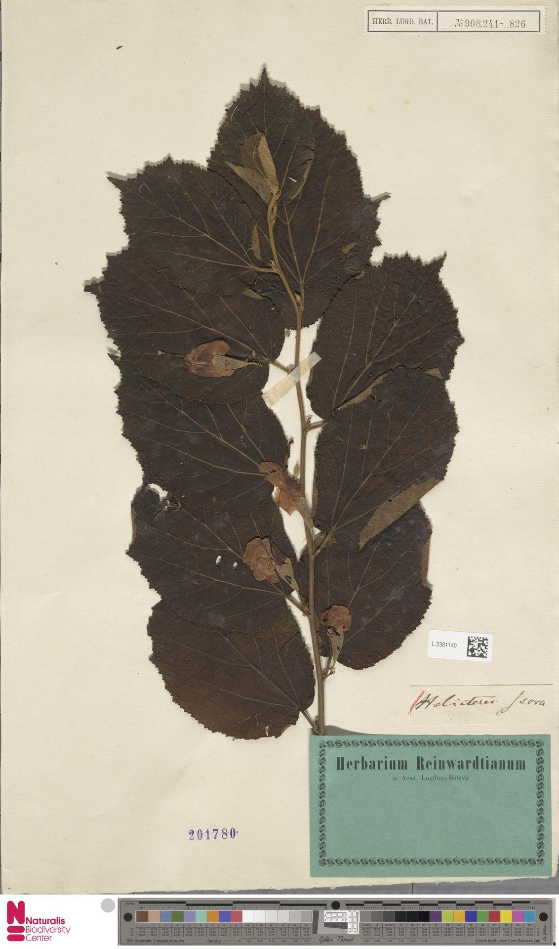 L.2381140 | Helicteres isora L.