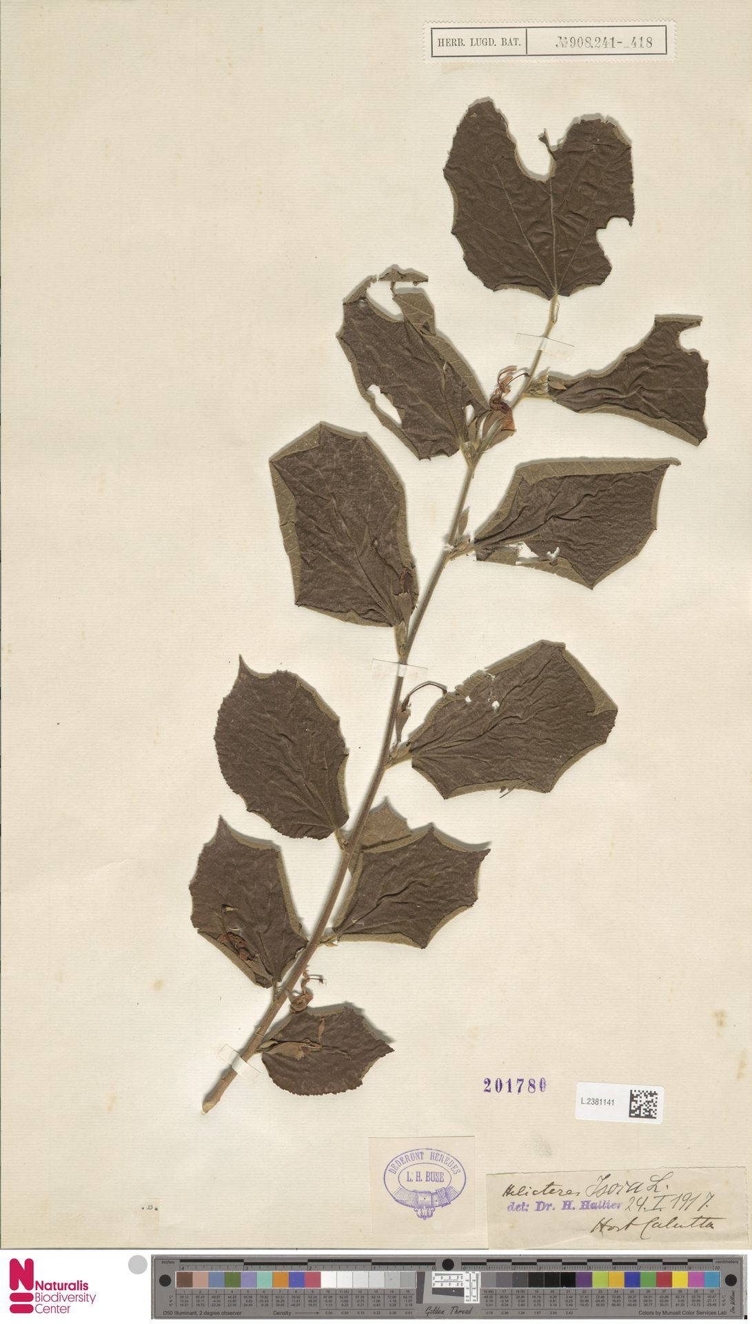 L.2381141 | Helicteres isora L.