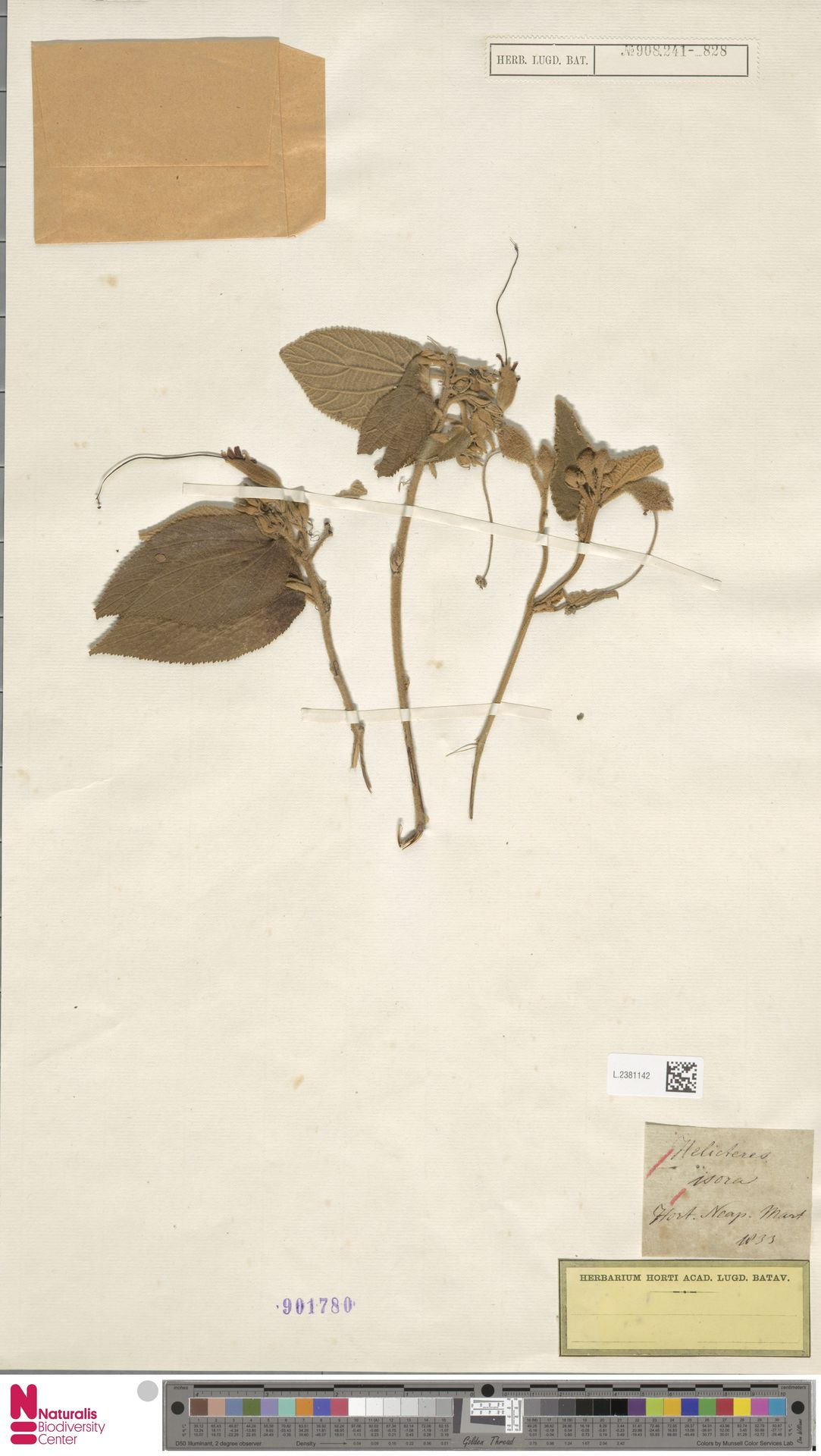 L.2381142 | Helicteres isora L.