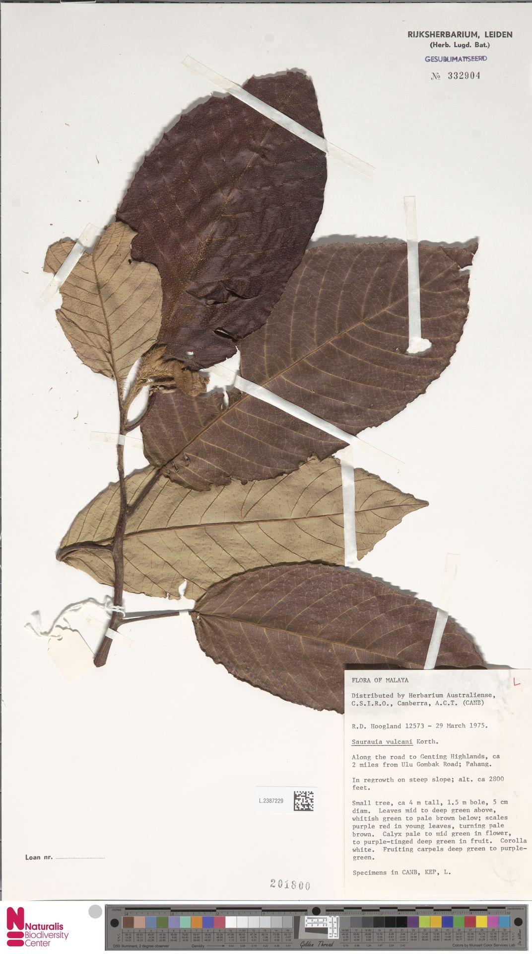 L.2387229 | Saurauia vulcani Korth.