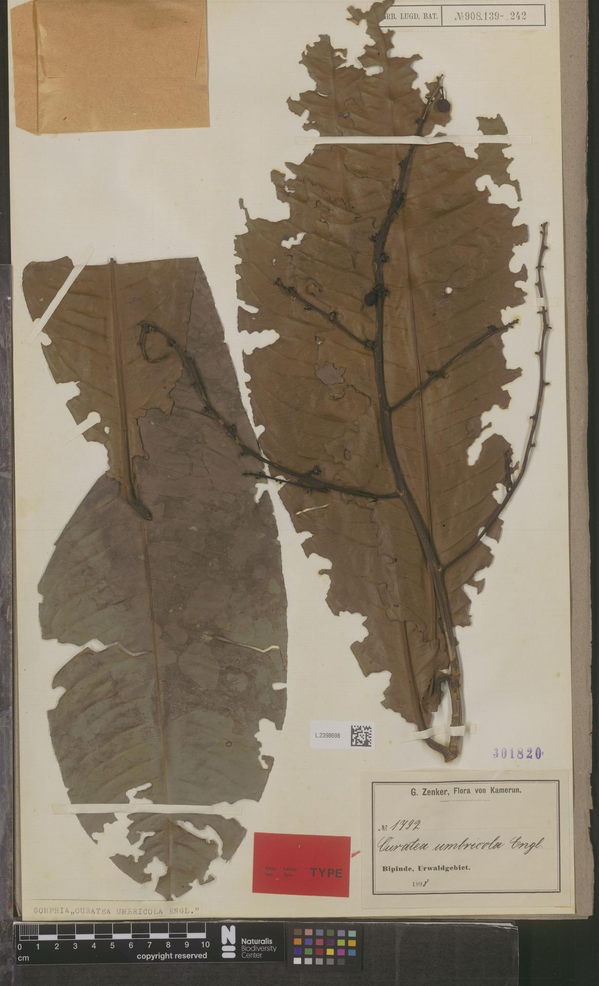 L.2398698 | Campylospermum umbricola (Tiegh.) Farron
