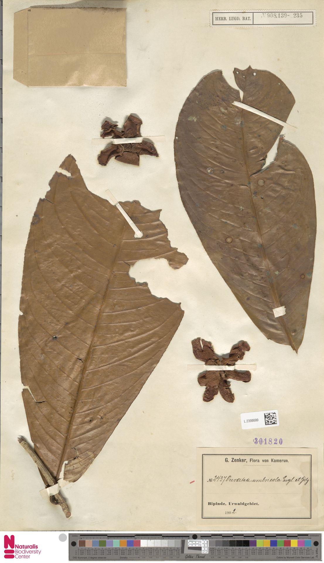 L.2398699 | Campylospermum umbricola (Tiegh.) Farron