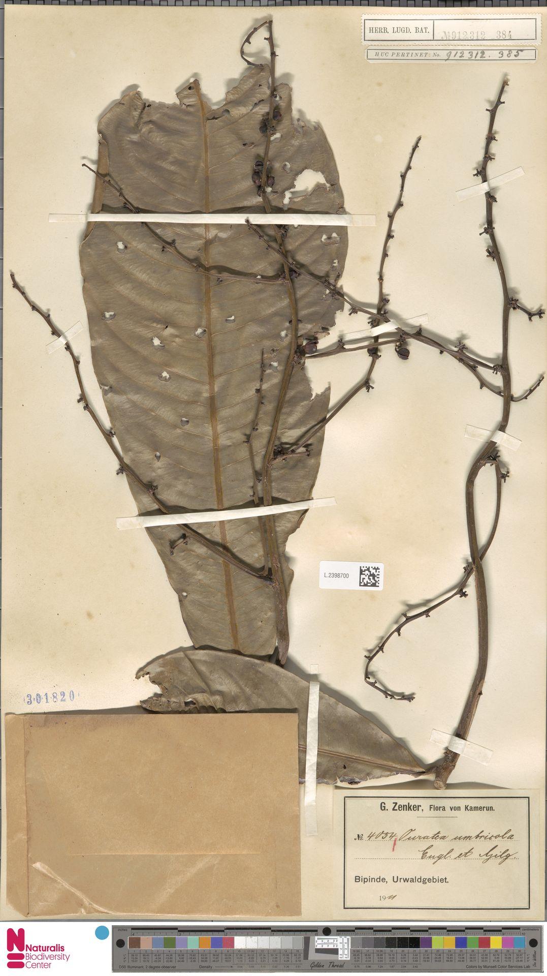 L.2398700 | Campylospermum umbricola (Tiegh.) Farron