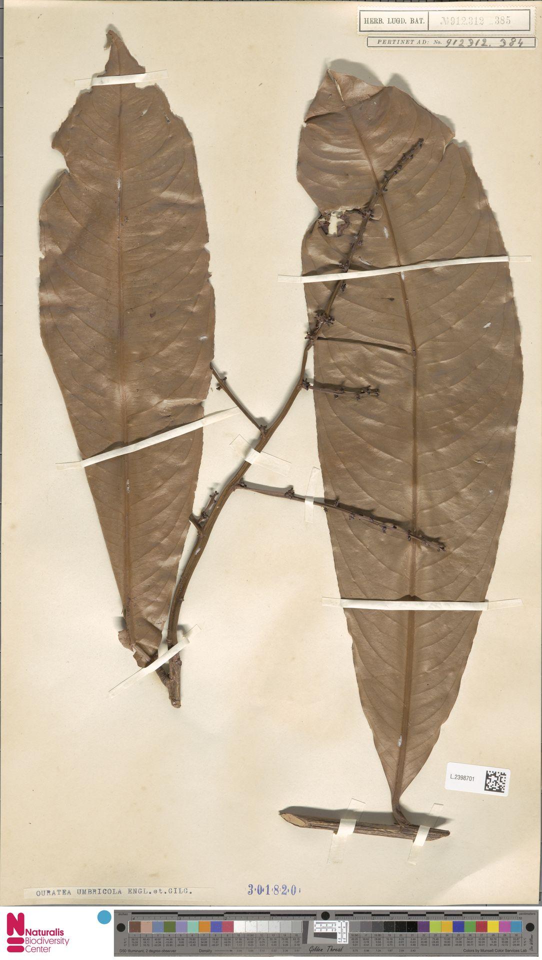 L.2398701 | Campylospermum umbricola (Tiegh.) Farron