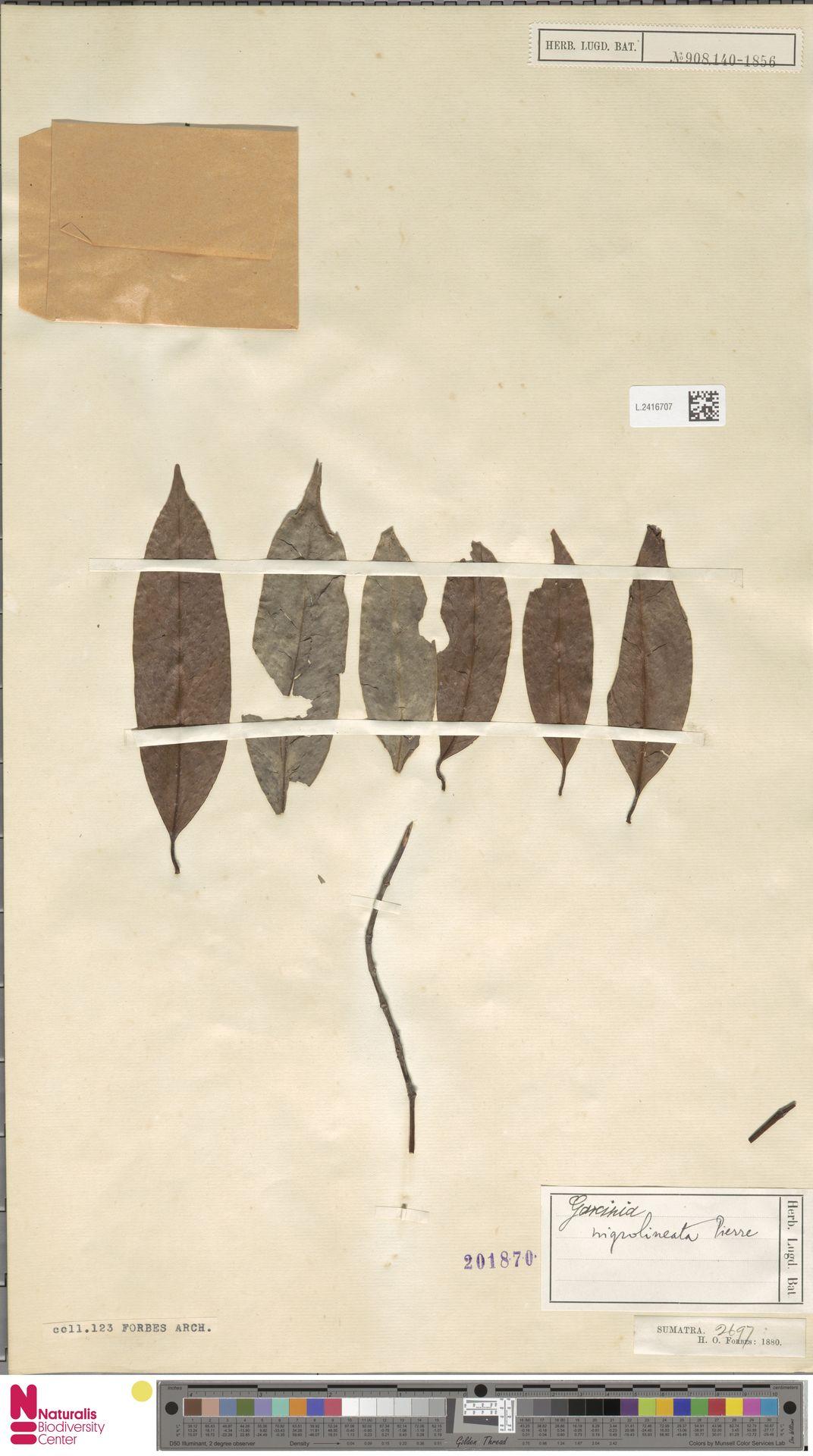 L.2416707 | Garcinia nigrolineata Planch. ex T.Anderson