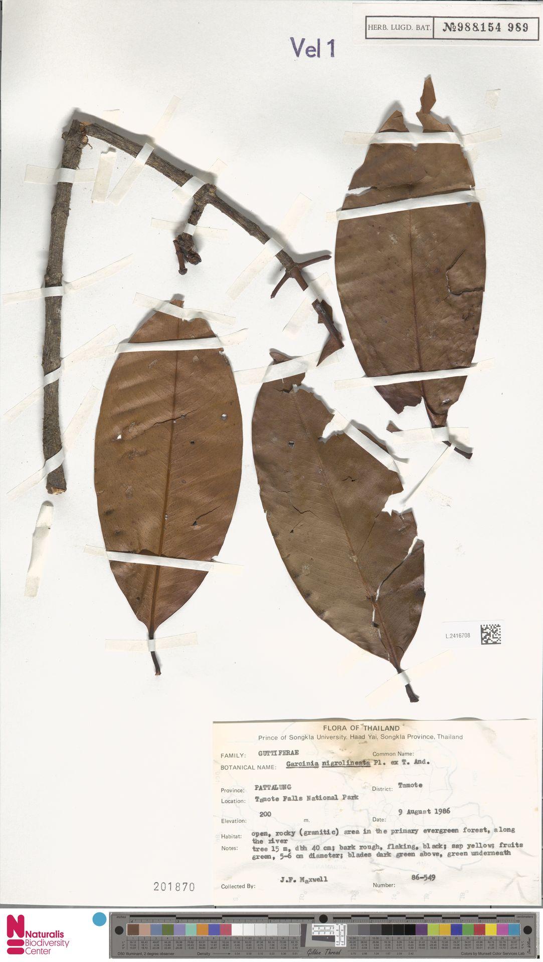 L.2416708 | Garcinia nigrolineata Planch. ex T.Anderson