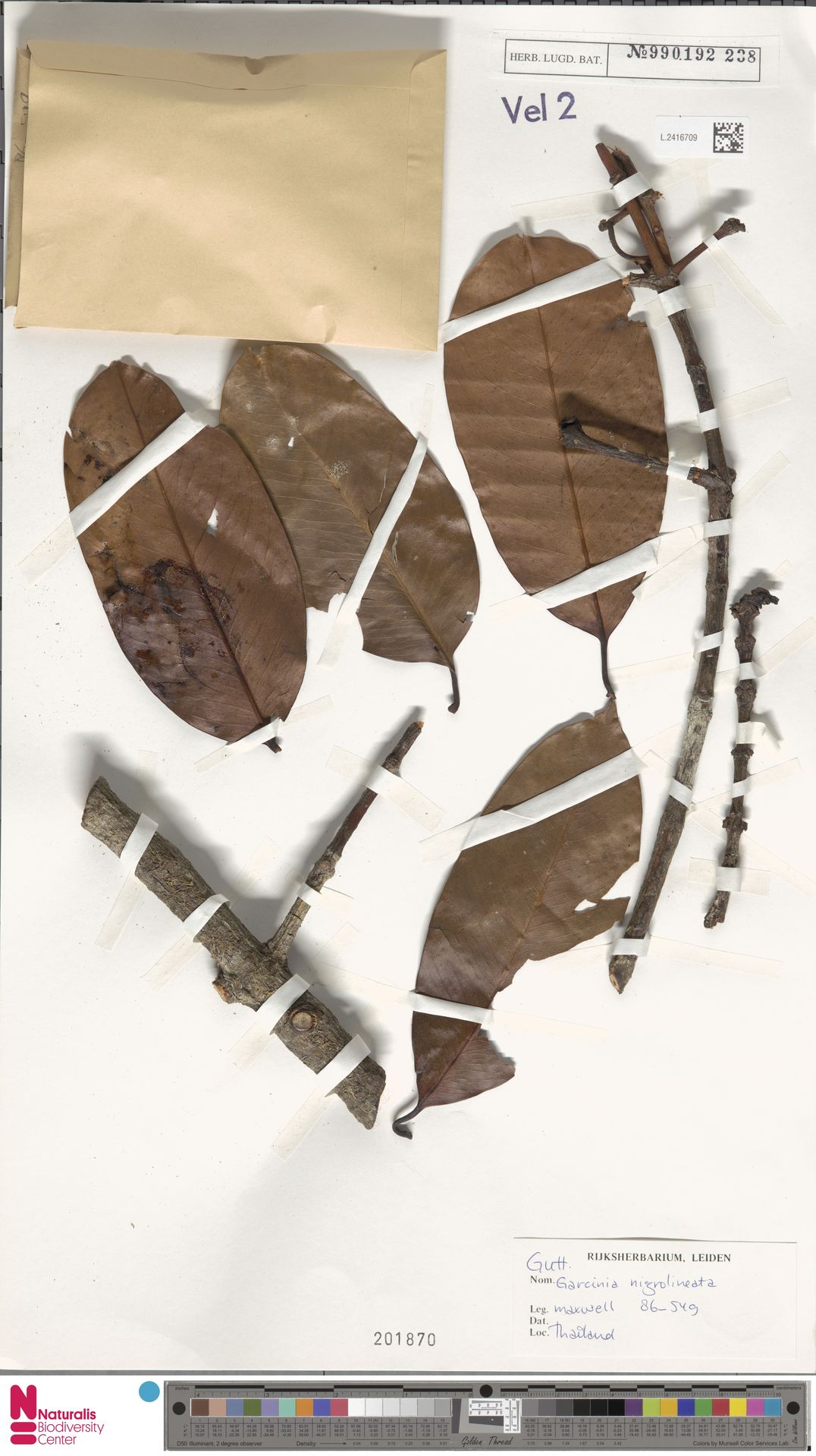 L.2416709 | Garcinia nigrolineata Planch. ex T.Anderson