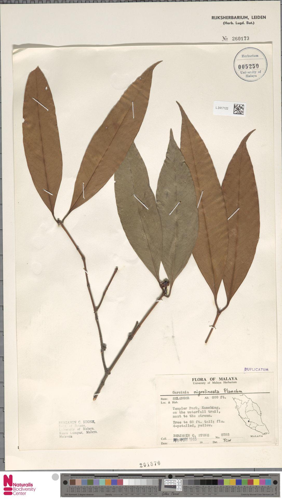L.2417122 | Garcinia nigrolineata Planch. ex T.Anderson