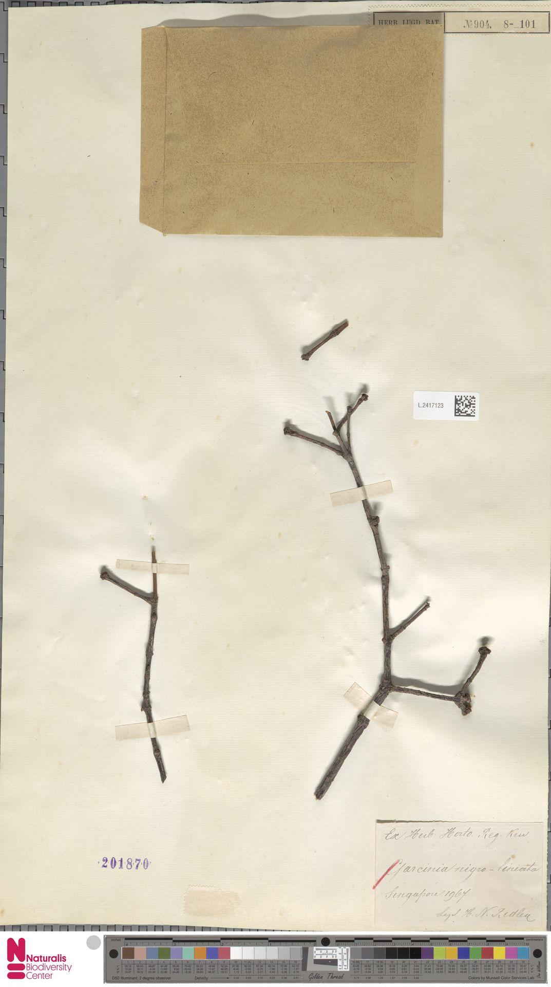 L.2417123 | Garcinia nigrolineata Planch. ex T.Anderson
