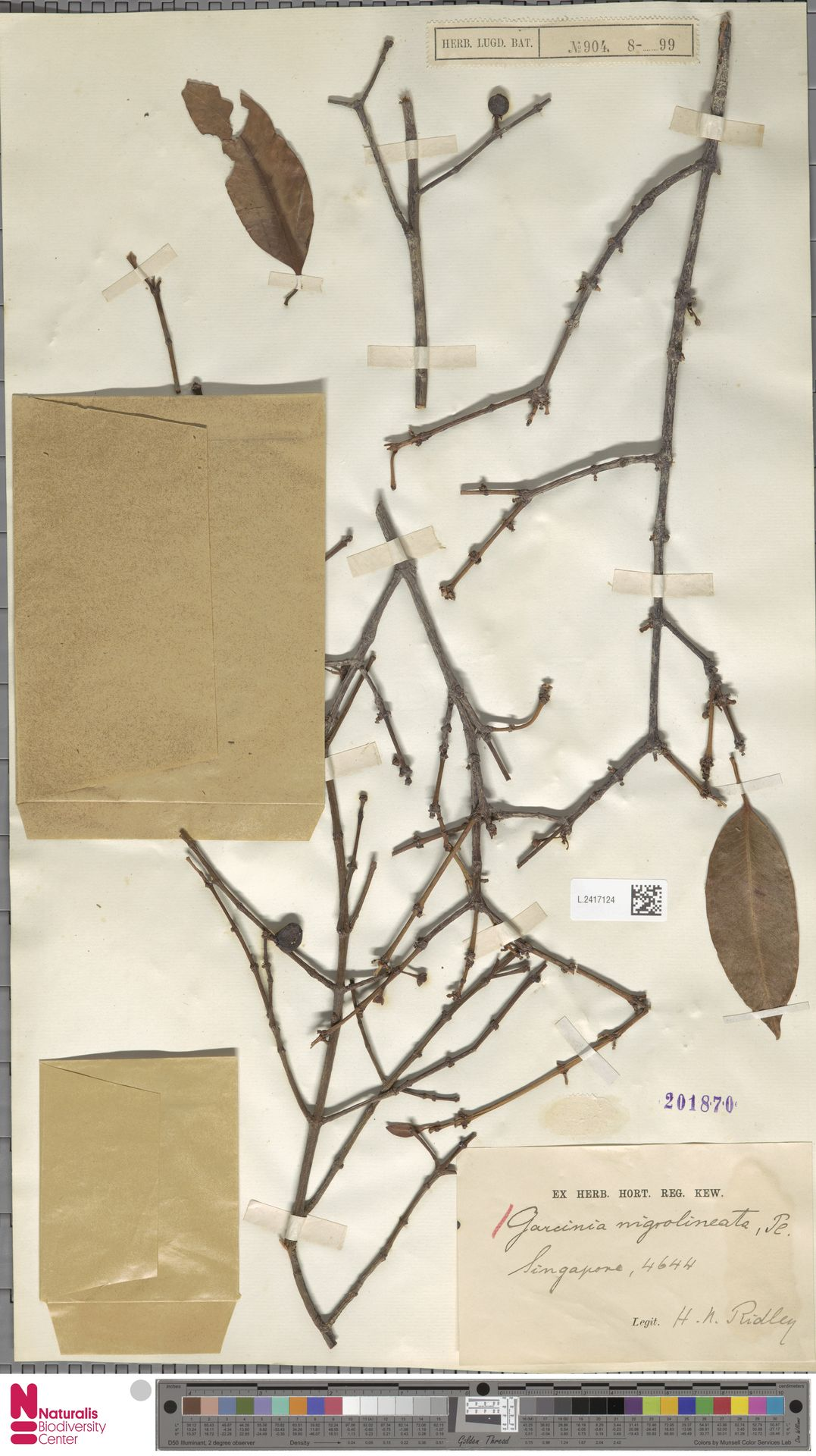 L.2417124 | Garcinia nigrolineata Planch. ex T.Anderson