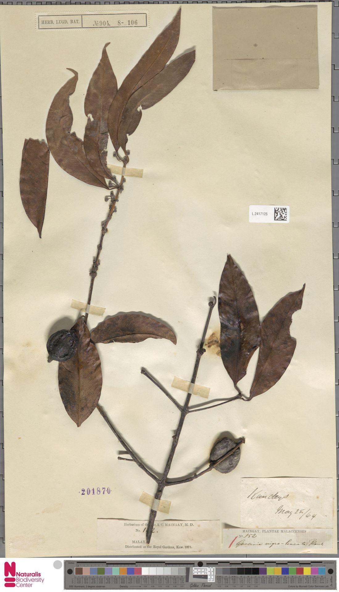 L.2417125 | Garcinia nigrolineata Planch. ex T.Anderson