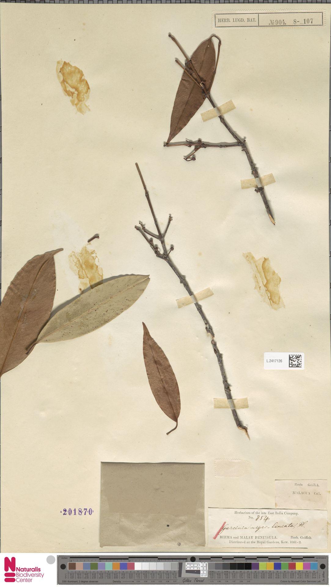 L.2417126 | Garcinia nigrolineata Planch. ex T.Anderson