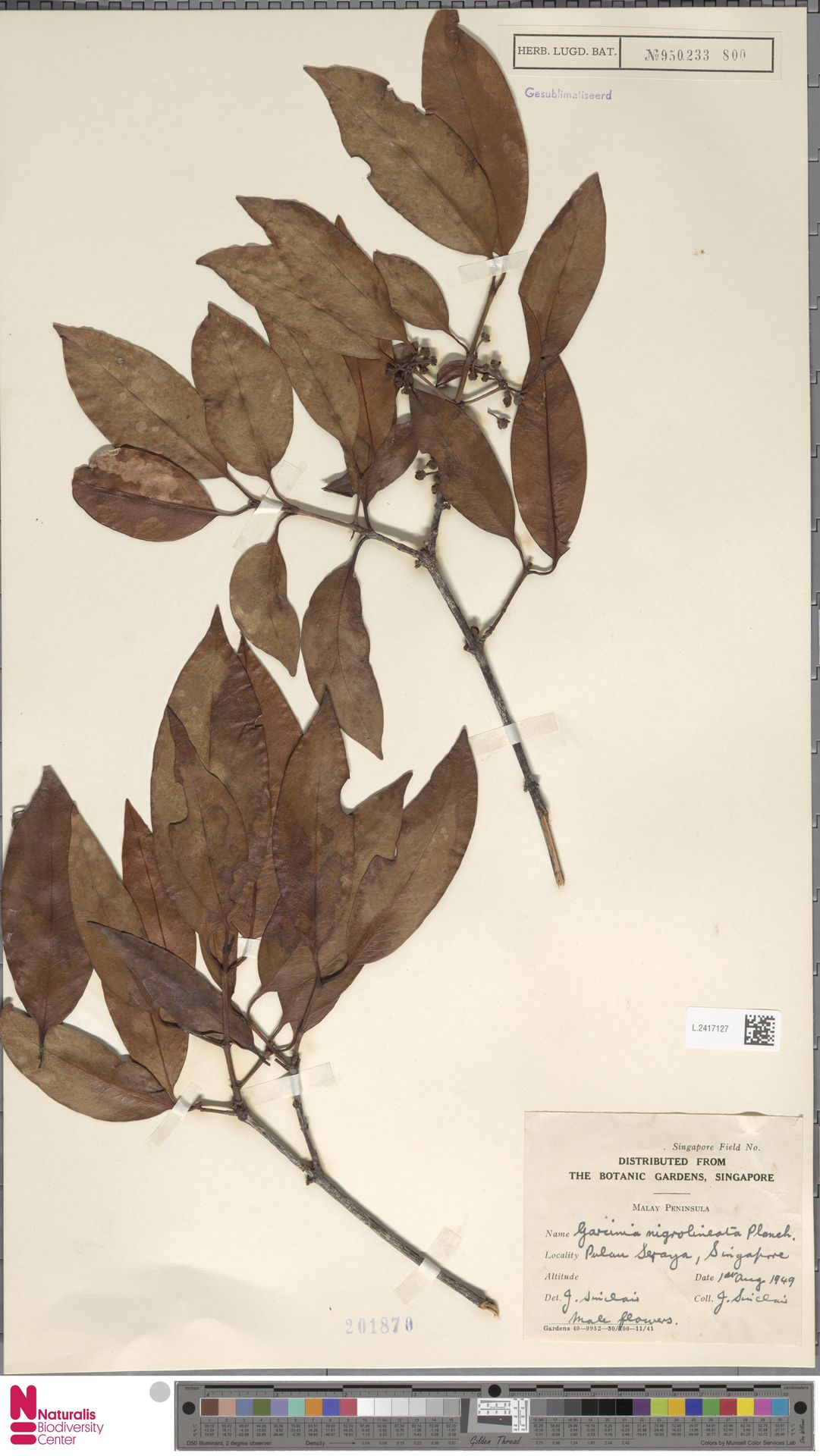 L.2417127 | Garcinia nigrolineata Planch. ex T.Anderson
