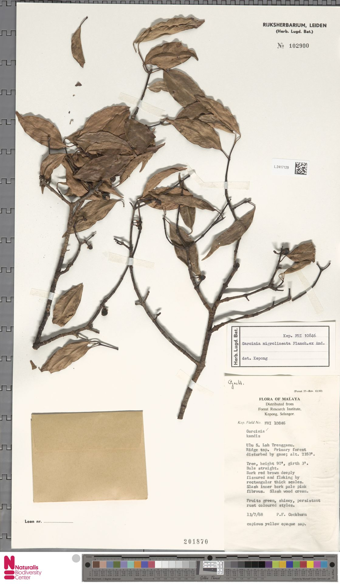 L.2417129 | Garcinia nigrolineata Planch. ex T.Anderson