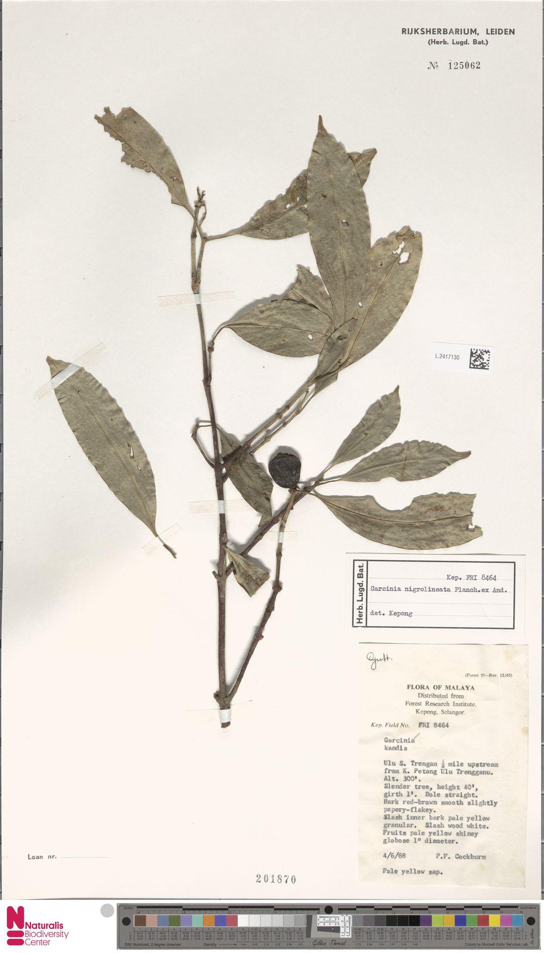 L.2417130 | Garcinia nigrolineata Planch. ex T.Anderson