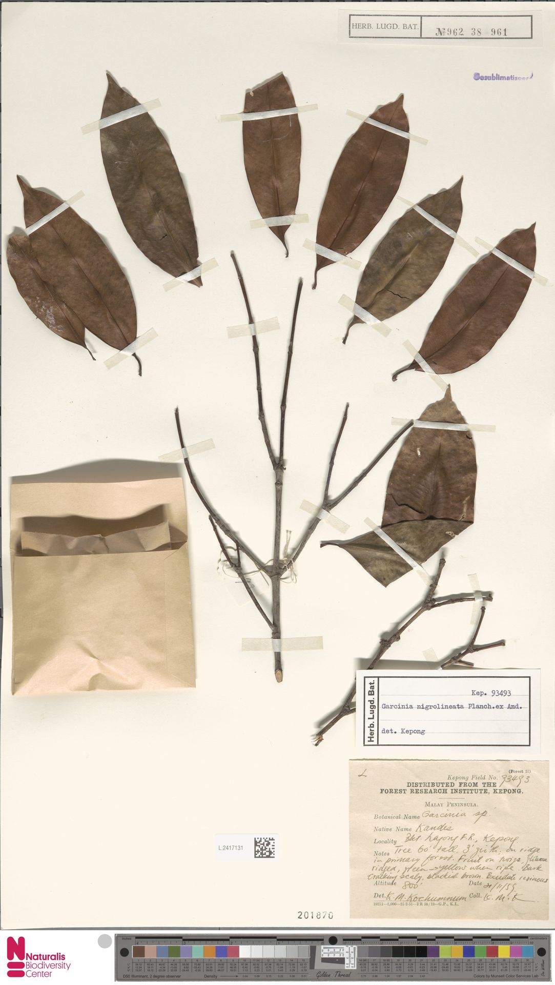L.2417131 | Garcinia nigrolineata Planch. ex T.Anderson