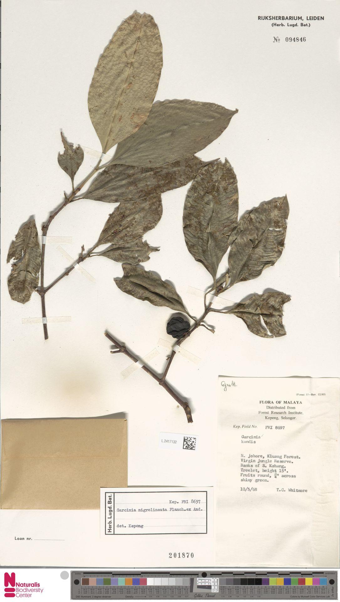 L.2417132 | Garcinia nigrolineata Planch. ex T.Anderson