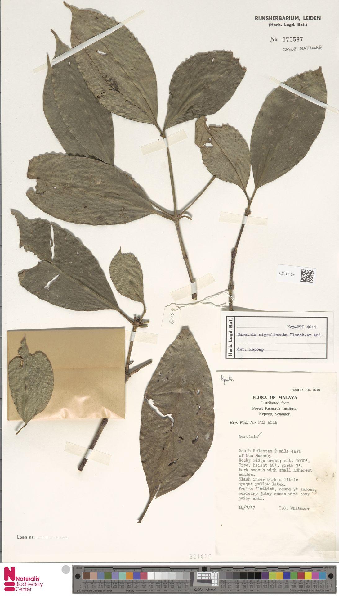 L.2417133 | Garcinia nigrolineata Planch. ex T.Anderson