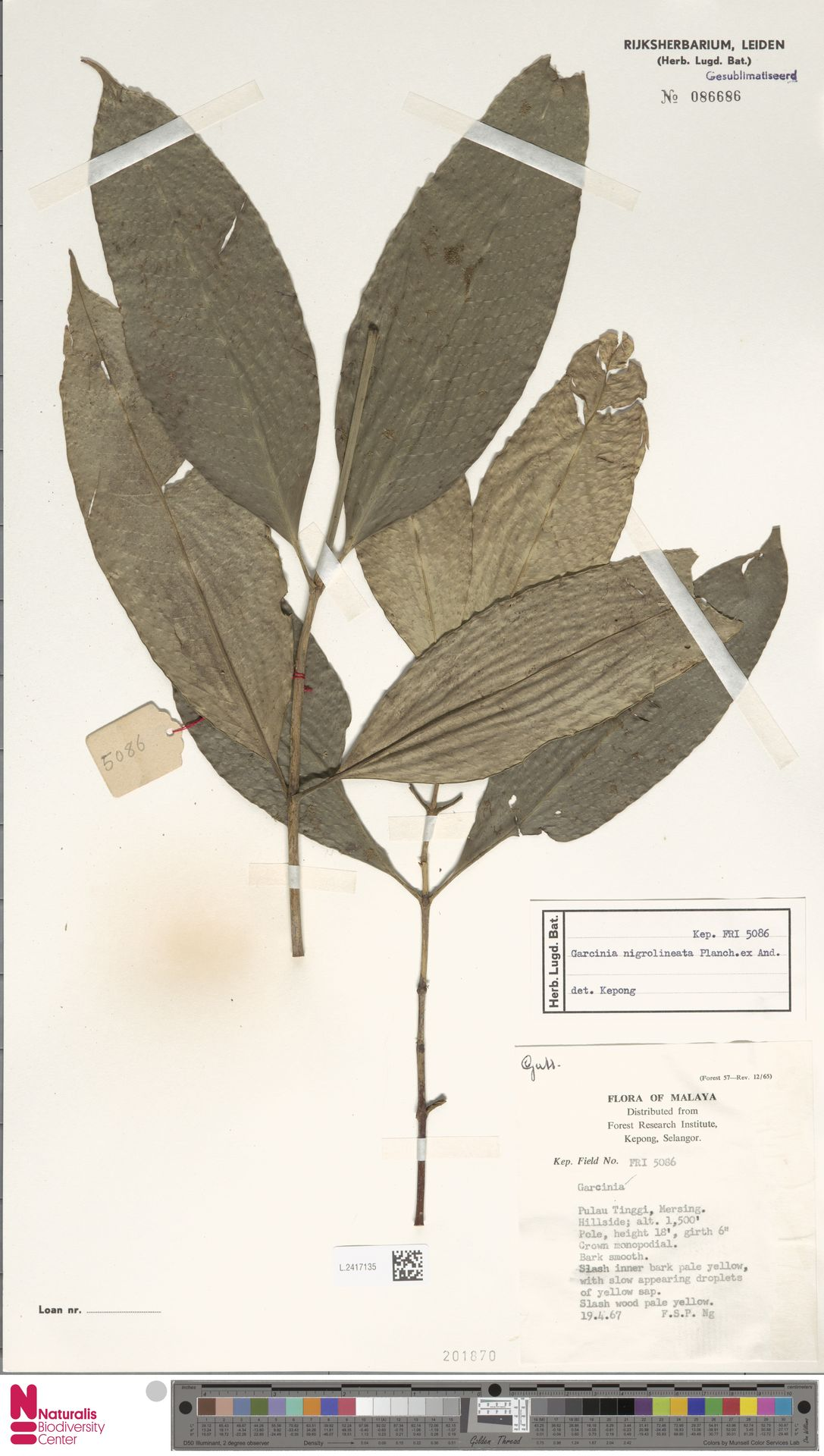 L.2417135 | Garcinia nigrolineata Planch. ex T.Anderson