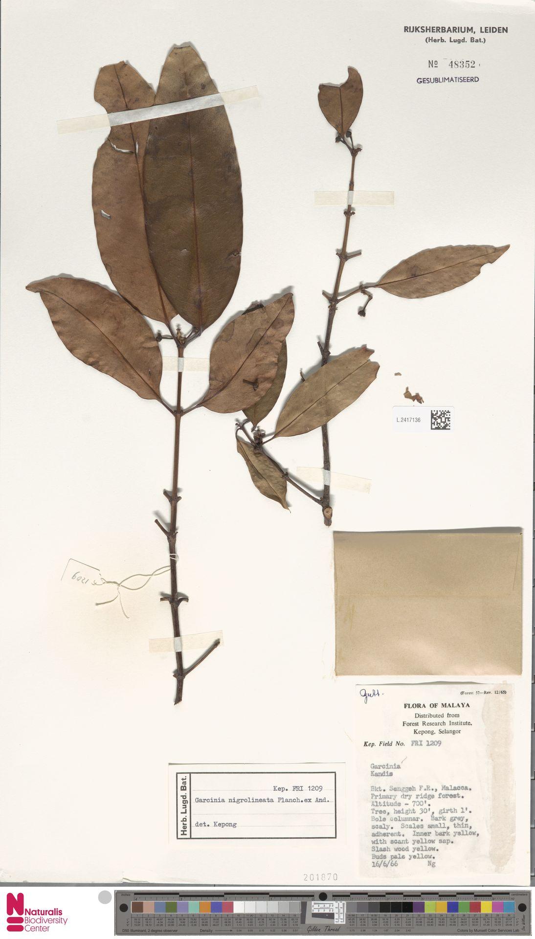 L.2417136 | Garcinia nigrolineata Planch. ex T.Anderson