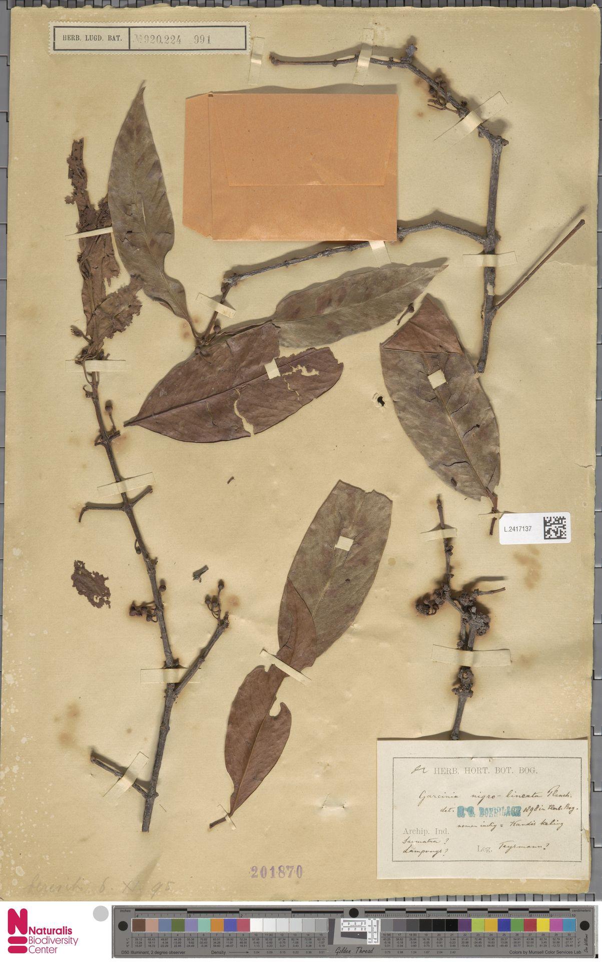 L.2417137 | Garcinia nigrolineata Planch. ex T.Anderson