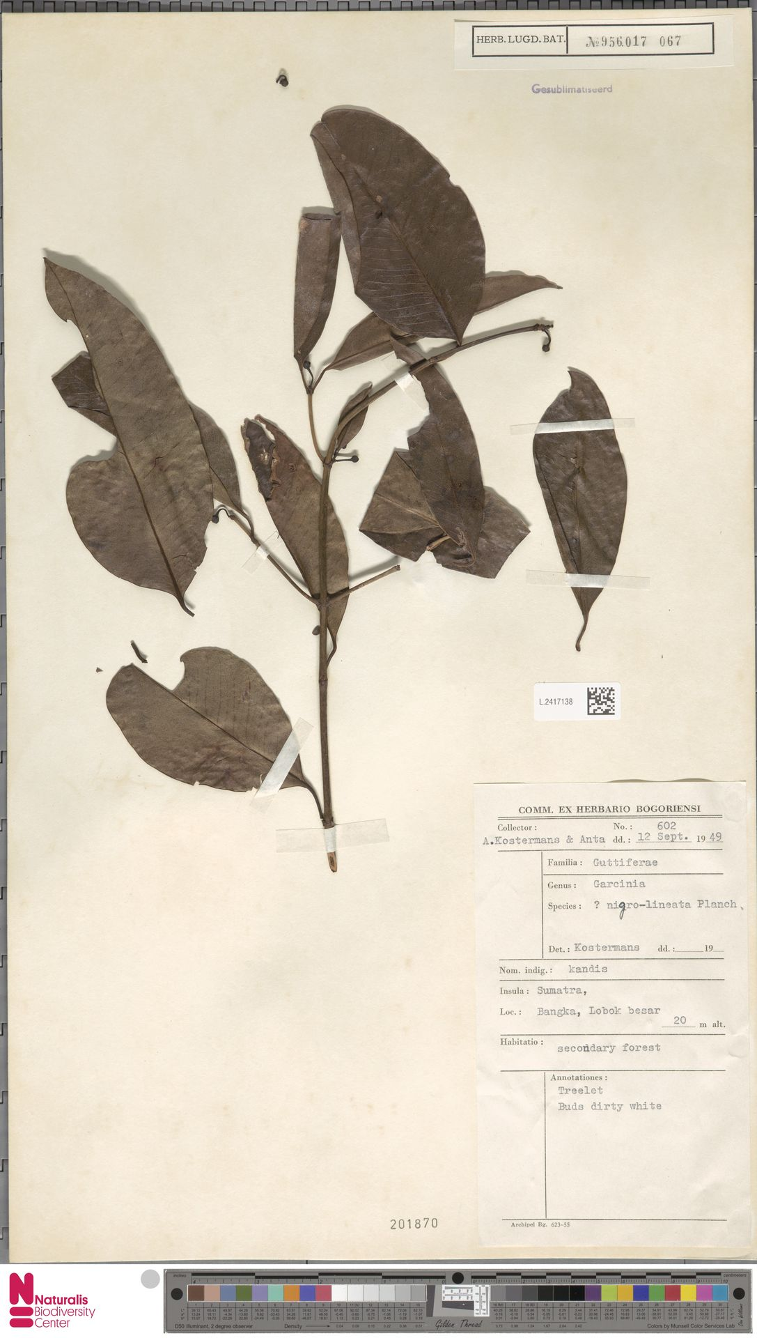 L.2417138 | Garcinia nigrolineata Planch. ex T.Anderson