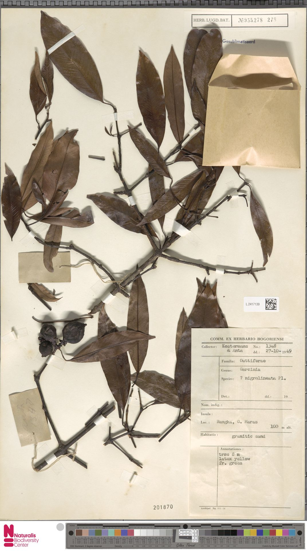 L.2417139 | Garcinia nigrolineata Planch. ex T.Anderson