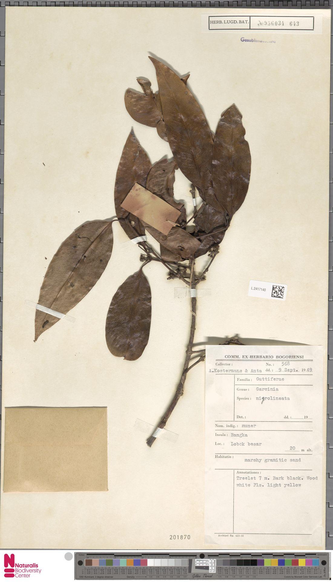 L.2417140 | Garcinia nigrolineata Planch. ex T.Anderson