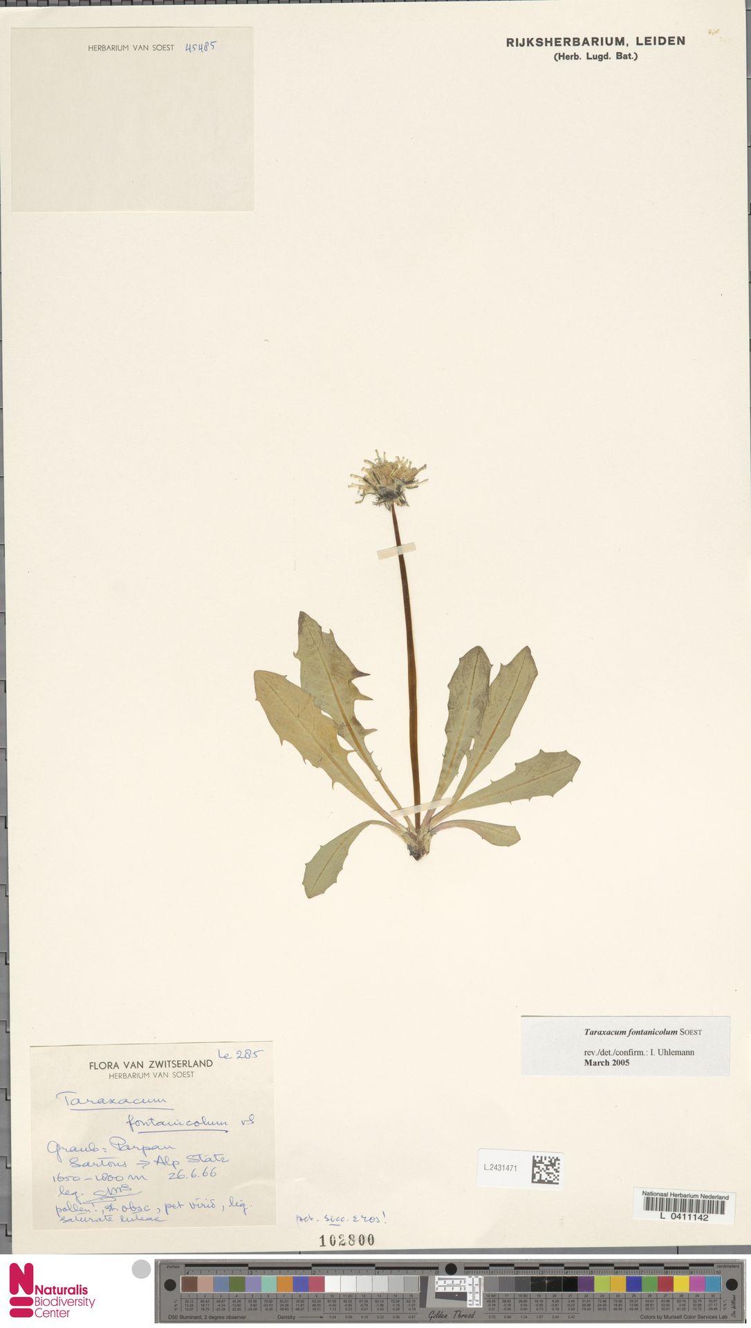 L.2431471 | Taraxacum fontanicola Soest
