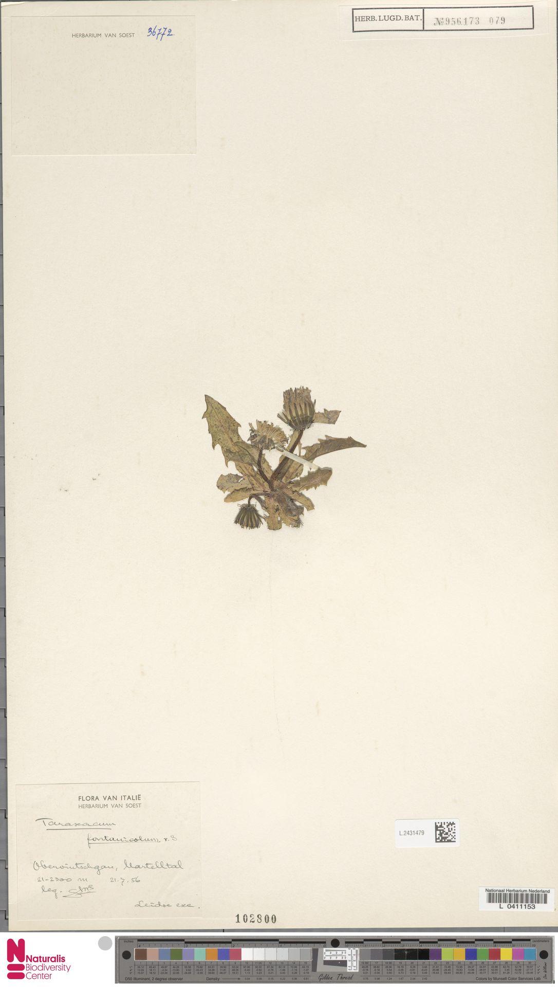 L.2431479   Taraxacum fontanicola Soest