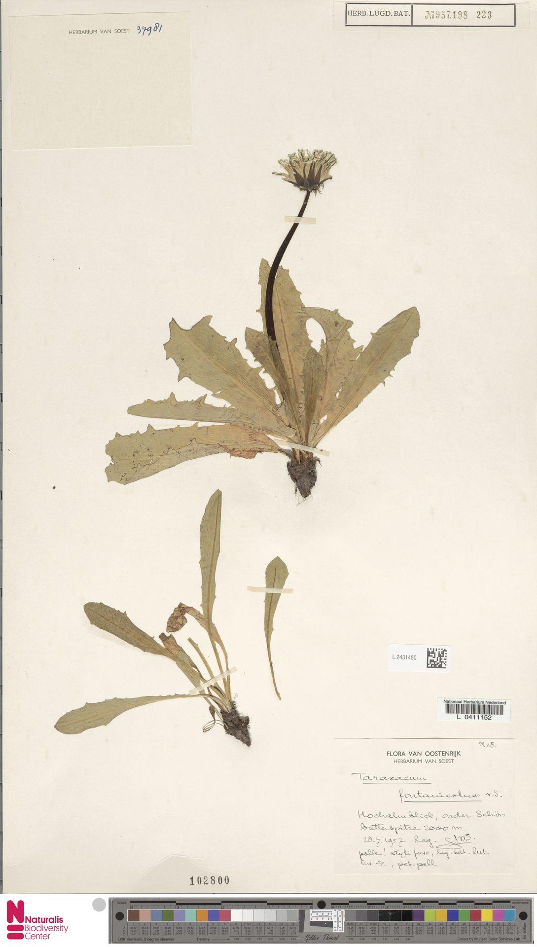 L.2431480 | Taraxacum fontanicola Soest