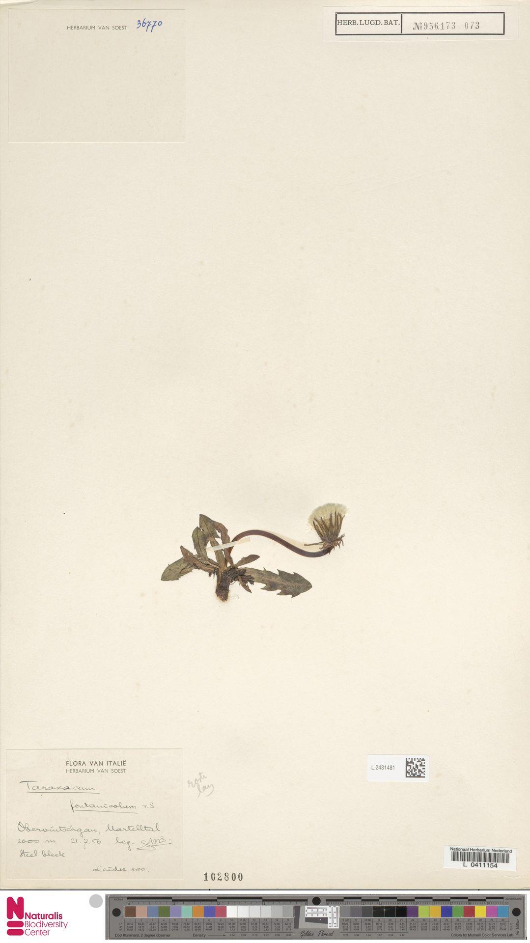L.2431481 | Taraxacum fontanicola Soest