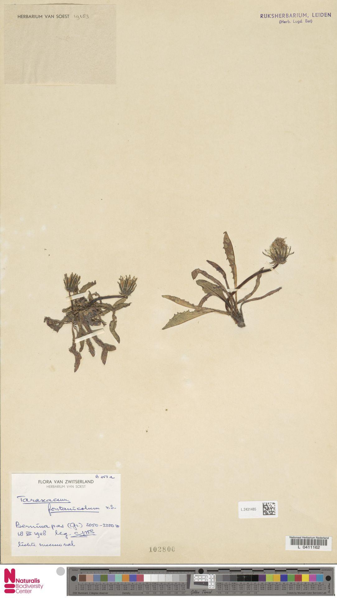 L.2431485 | Taraxacum fontanicola Soest