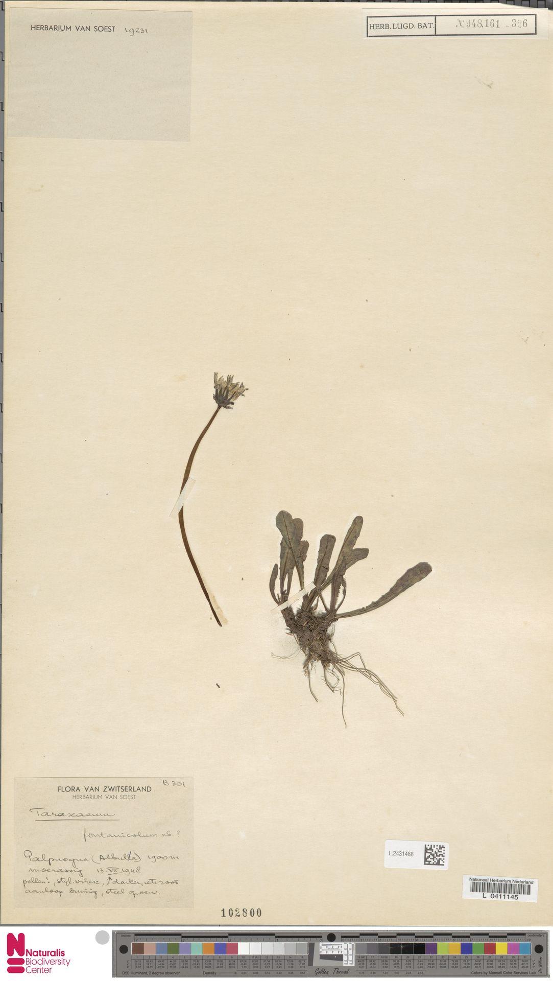 L.2431488 | Taraxacum fontanicola Soest