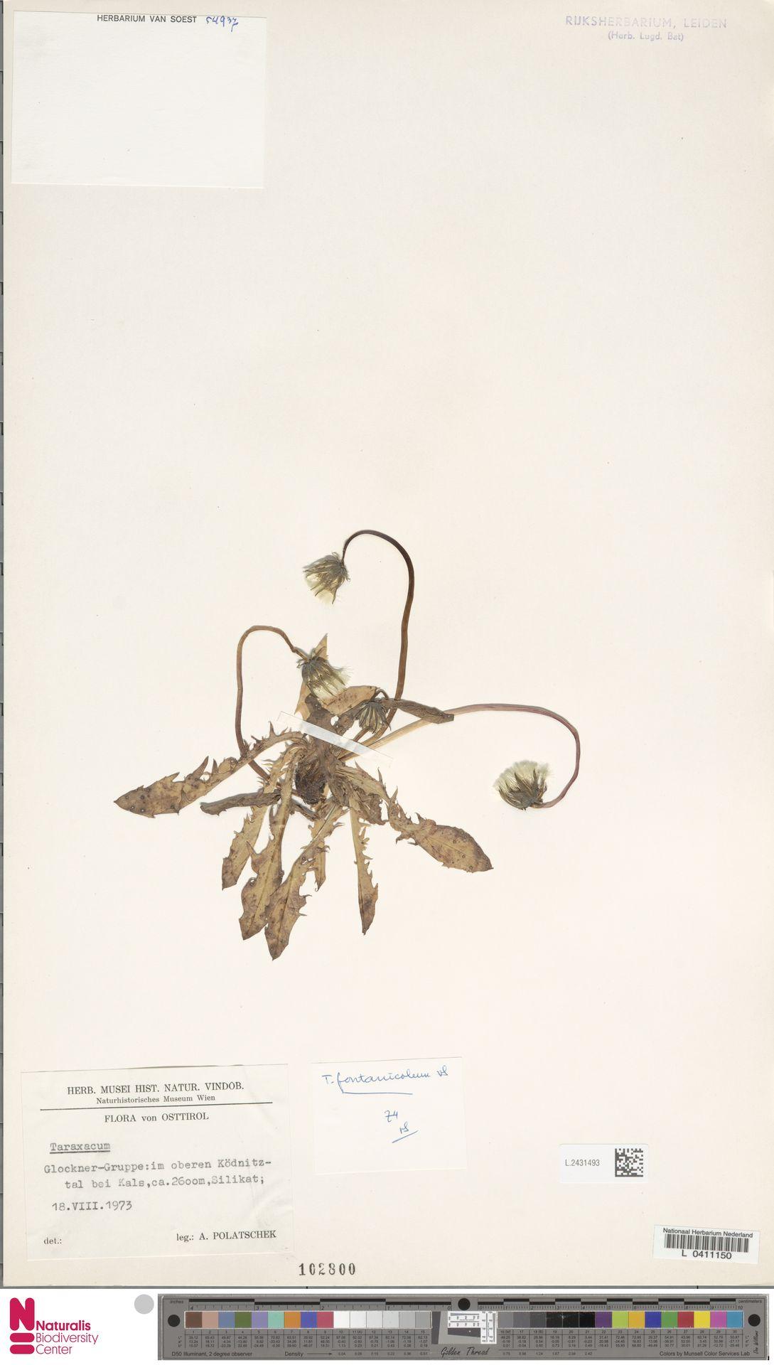 L.2431493 | Taraxacum fontanicola Soest