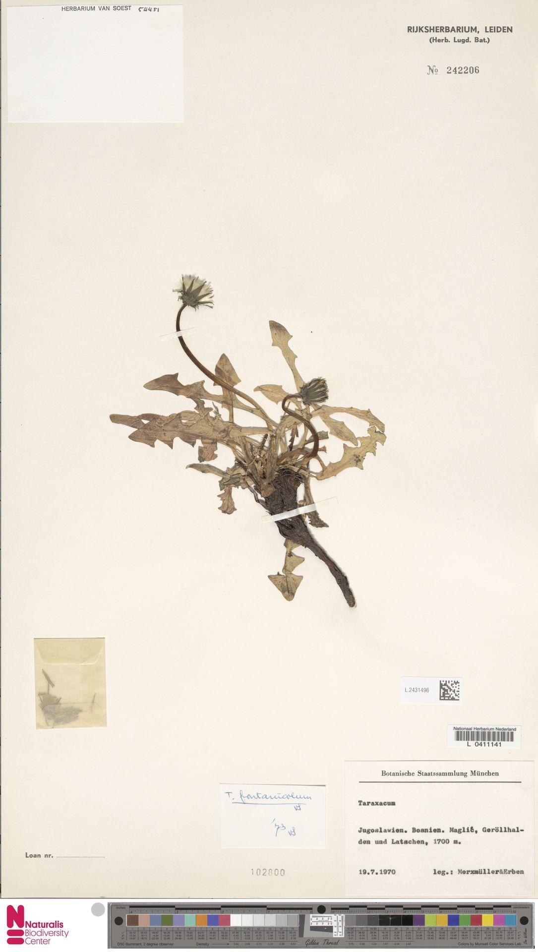 L.2431496 | Taraxacum fontanicola Soest
