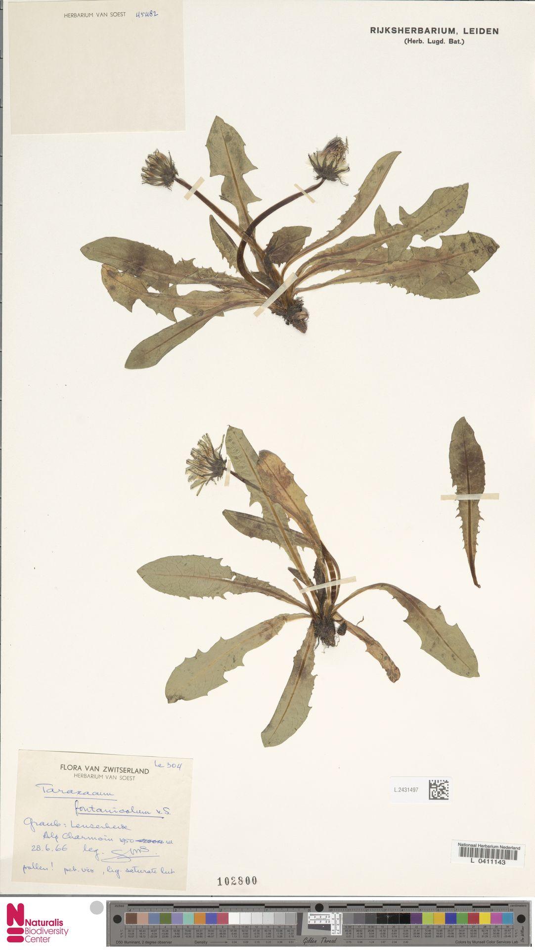 L.2431497 | Taraxacum fontanicola Soest