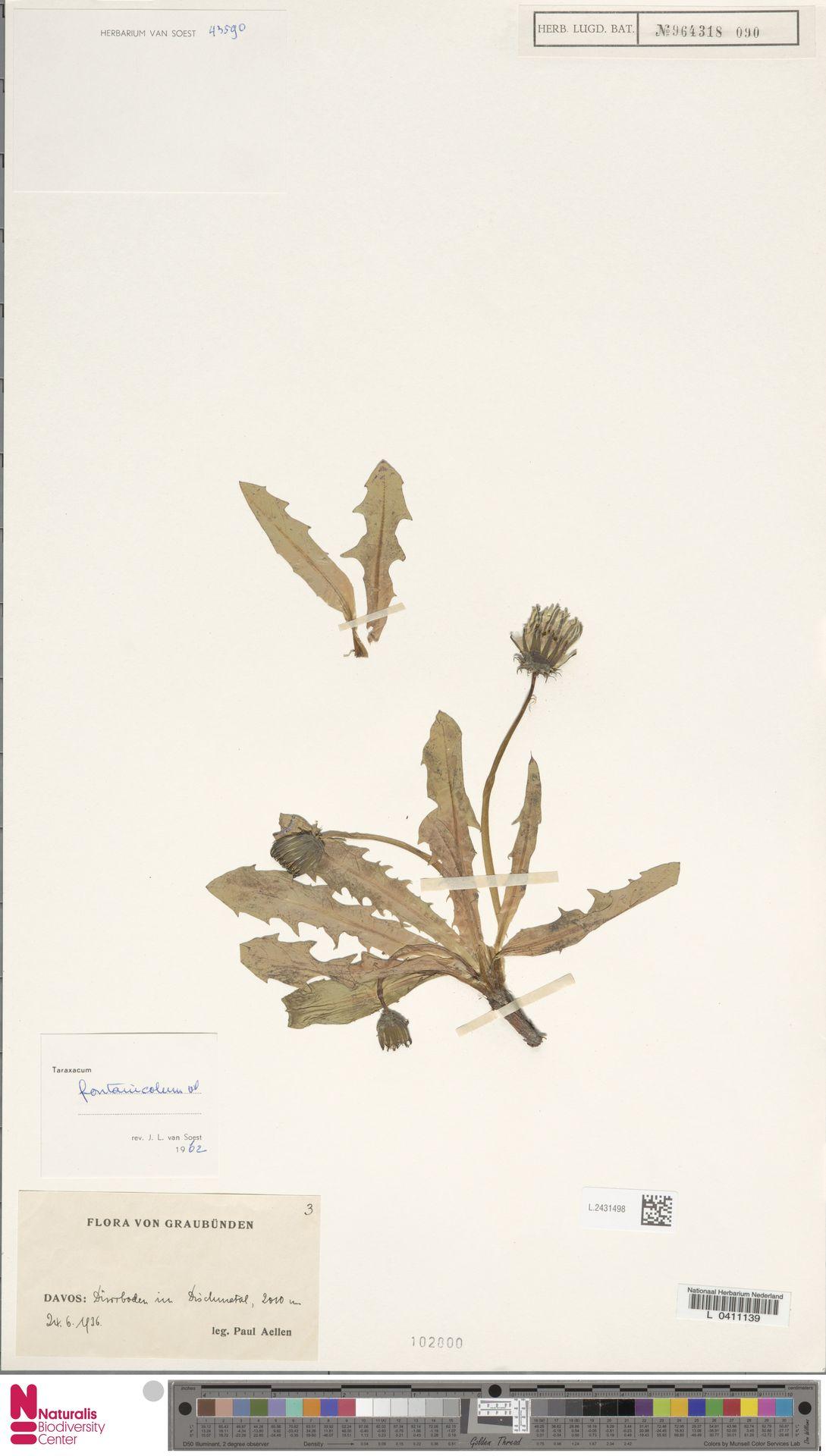 L.2431498   Taraxacum fontanicola Soest
