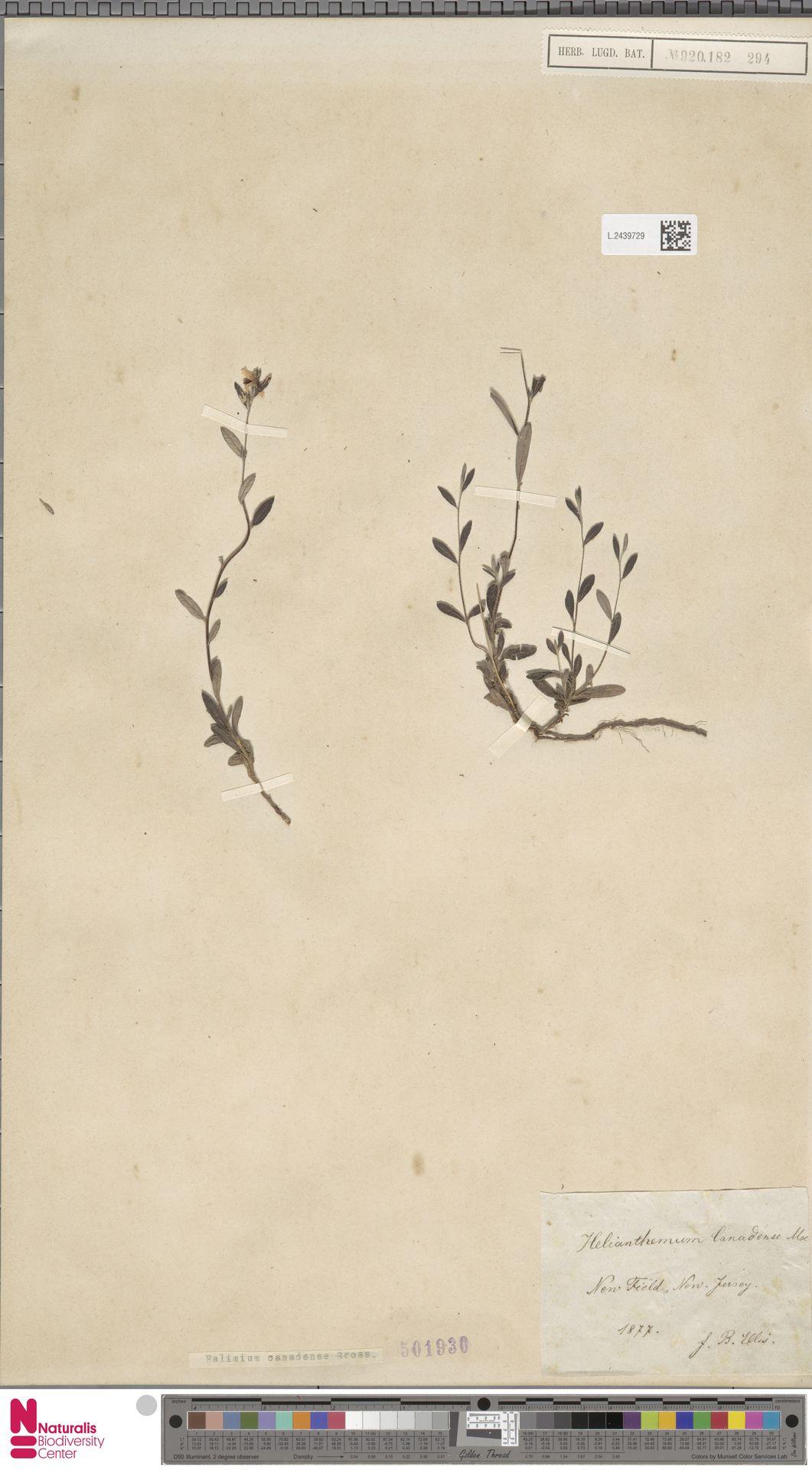 L.2439729 | Halimium canadense (L.) Grosser