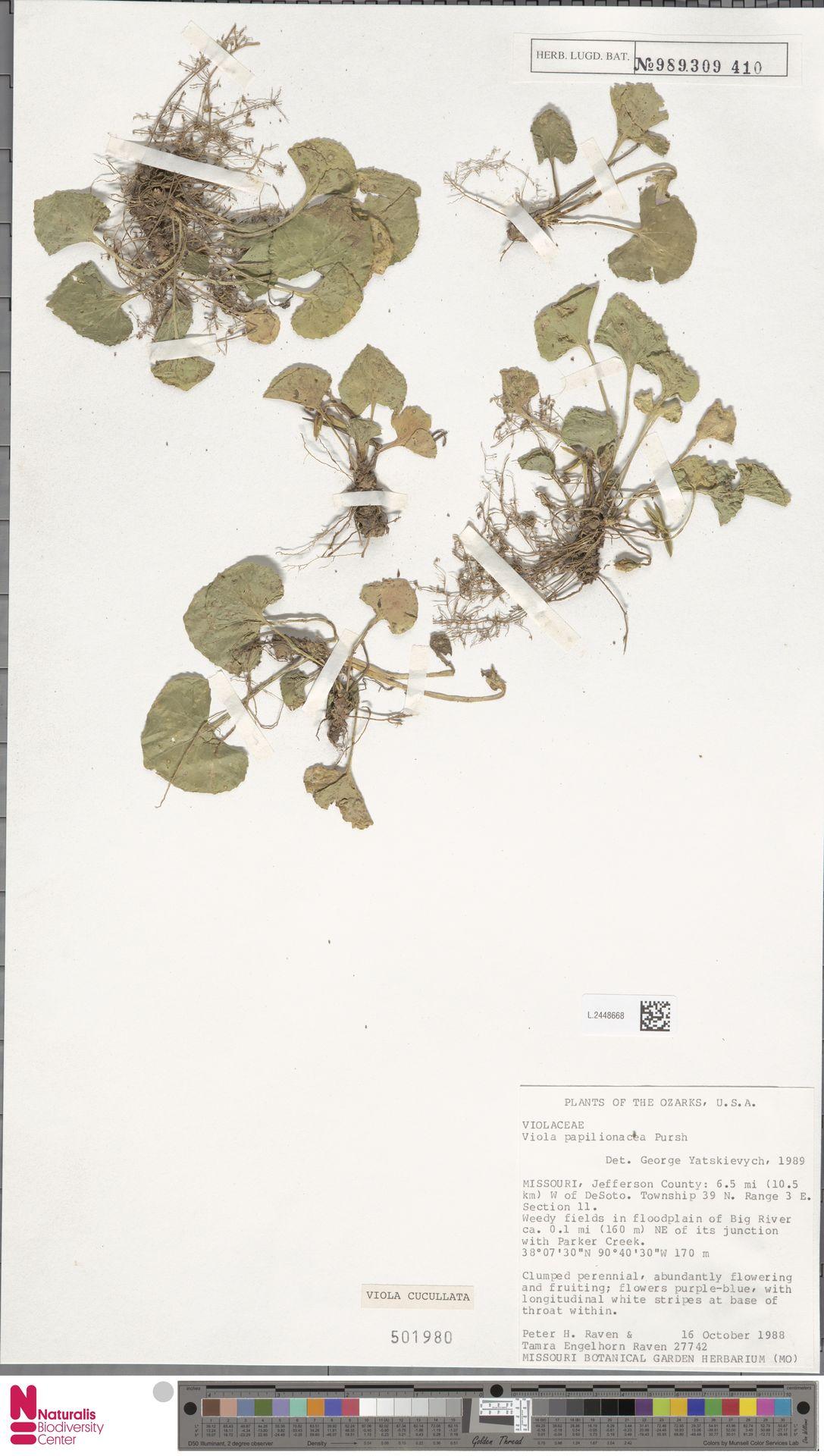L.2448668   Viola cucullata Aiton