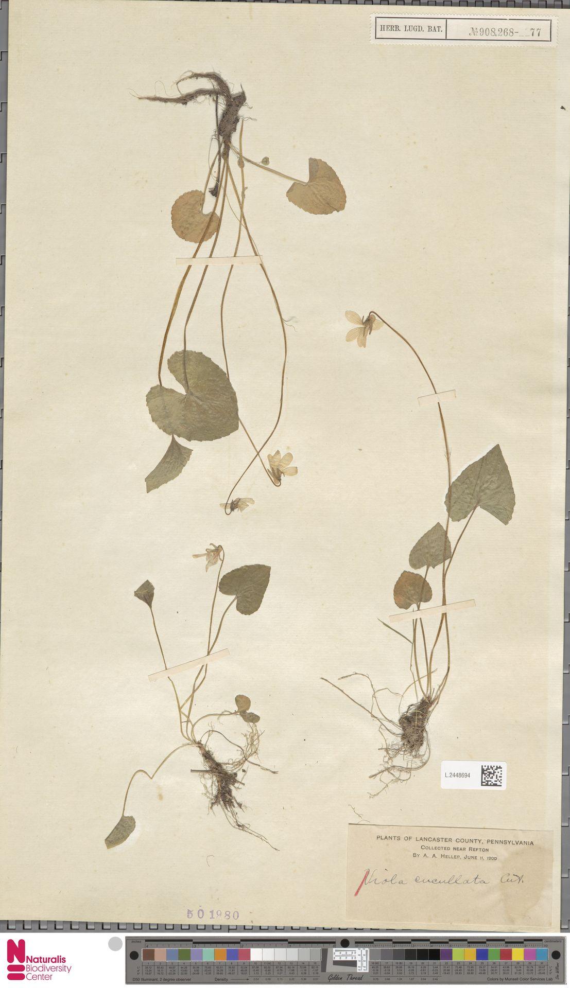 L.2448694 | Viola cucullata Aiton