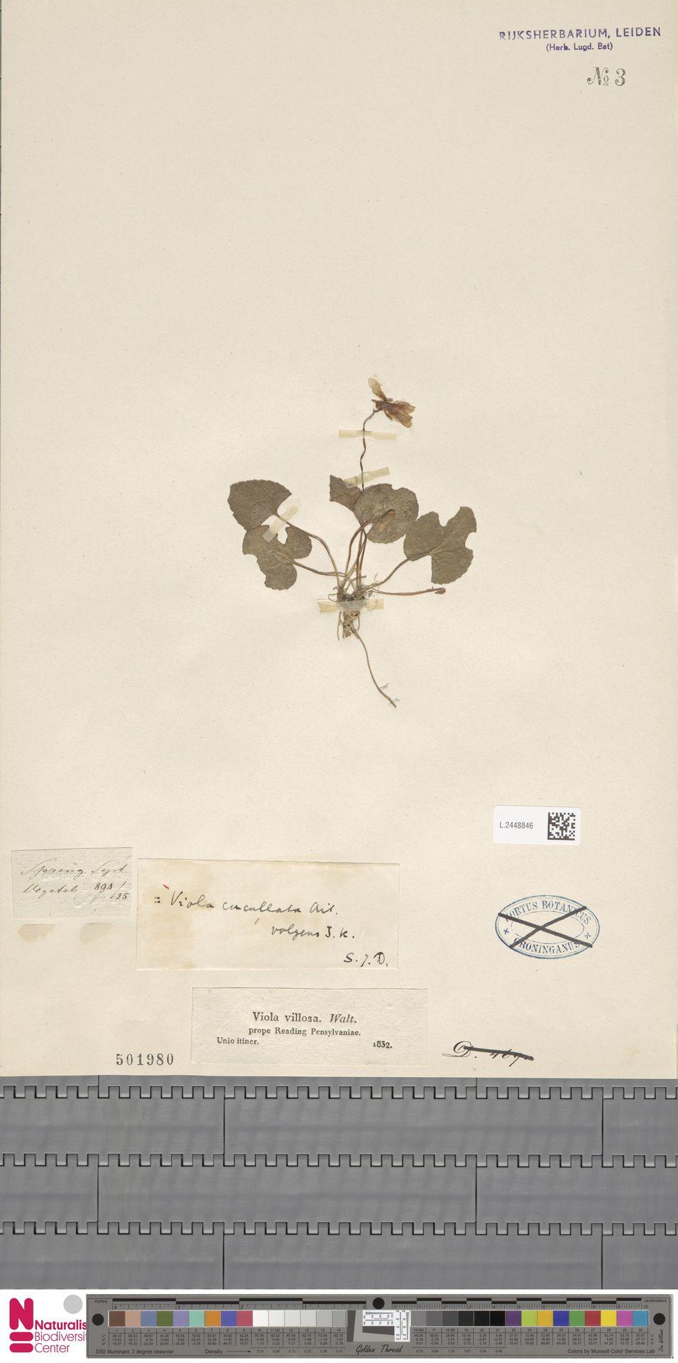 L.2448846 | Viola cucullata Aiton