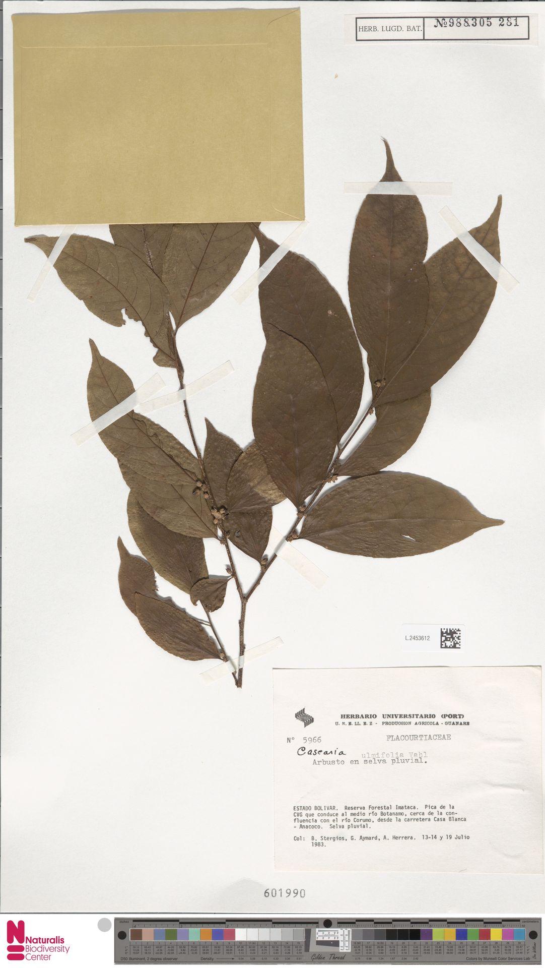 L.2453612 | Casearia ulmifolia Vahl ex Vent.