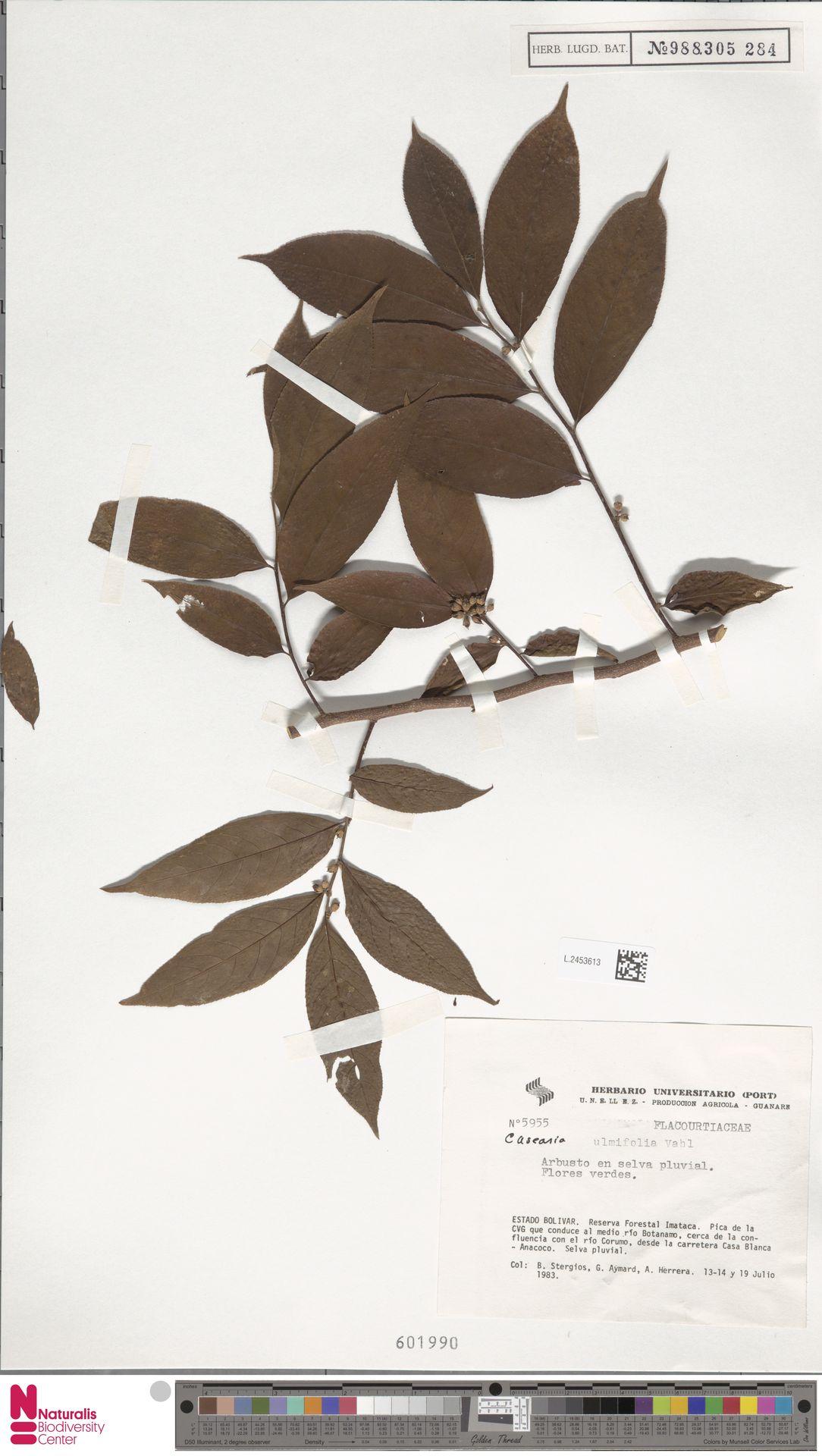 L.2453613 | Casearia ulmifolia Vahl ex Vent.