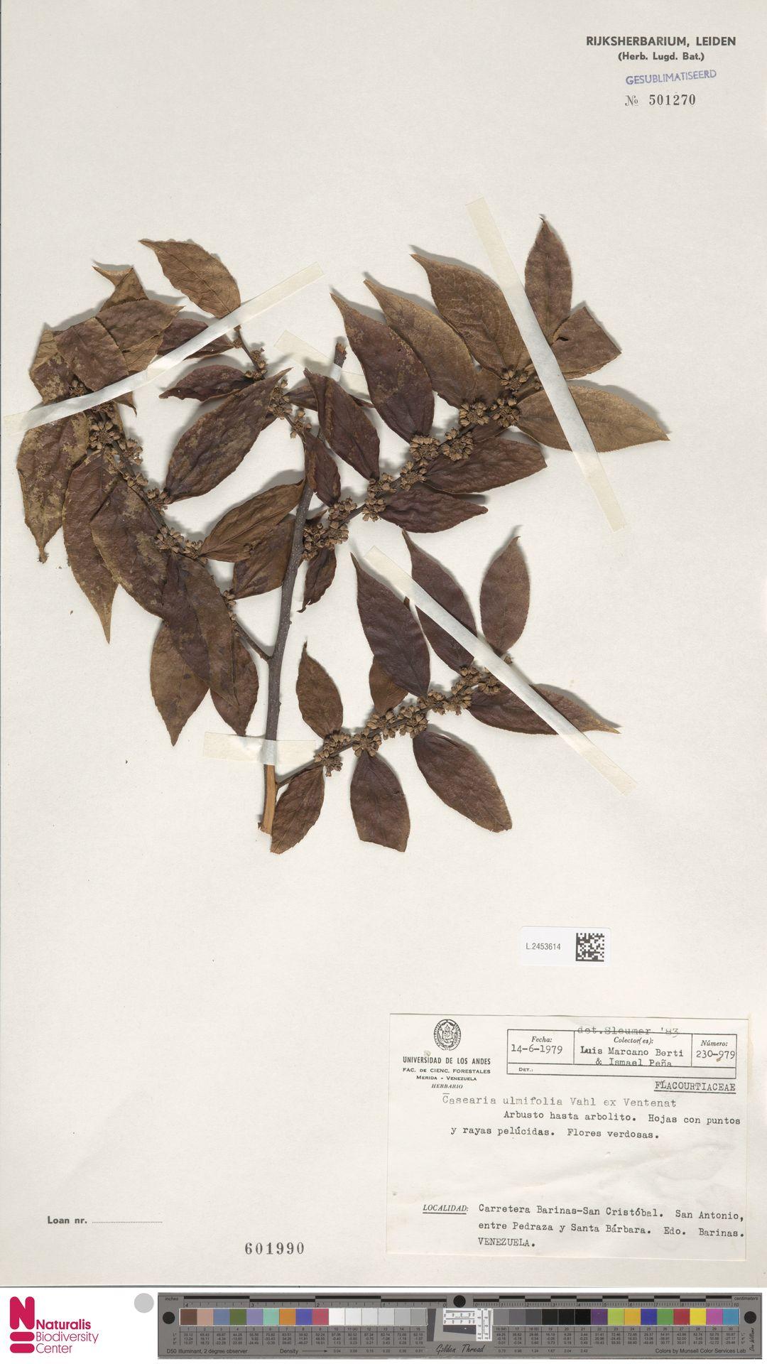 L.2453614 | Casearia ulmifolia Vahl ex Vent.