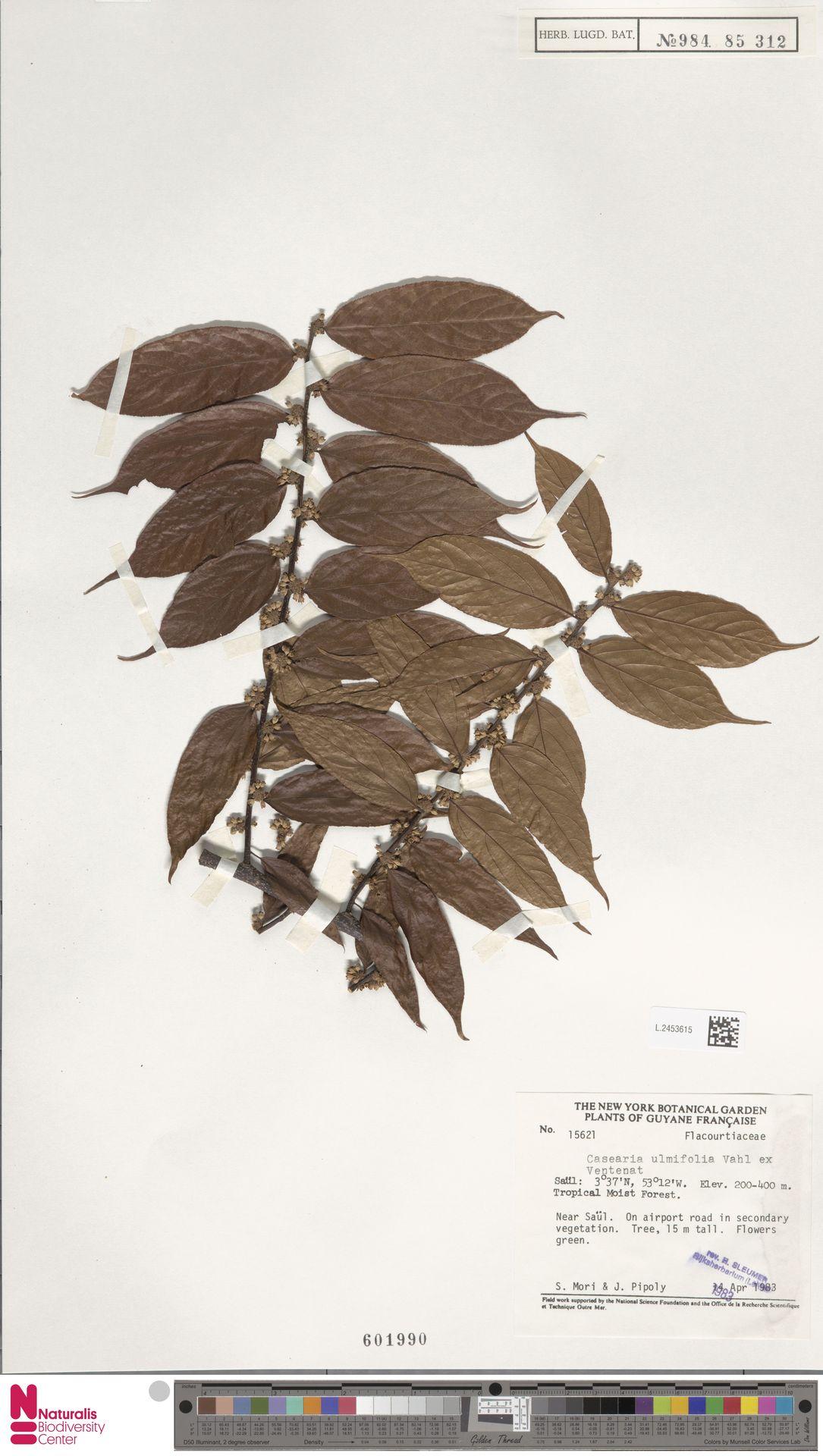 L.2453615 | Casearia ulmifolia Vahl ex Vent.