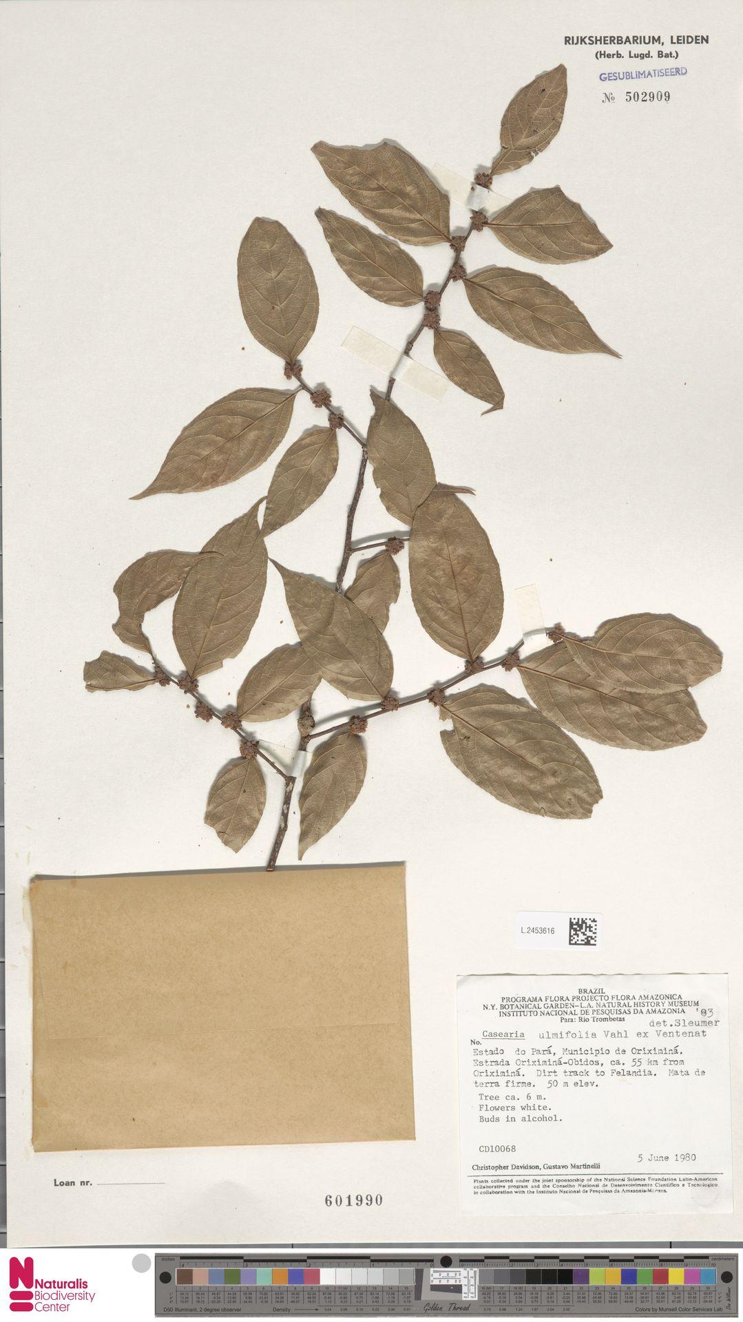 L.2453616 | Casearia ulmifolia Vahl ex Vent.