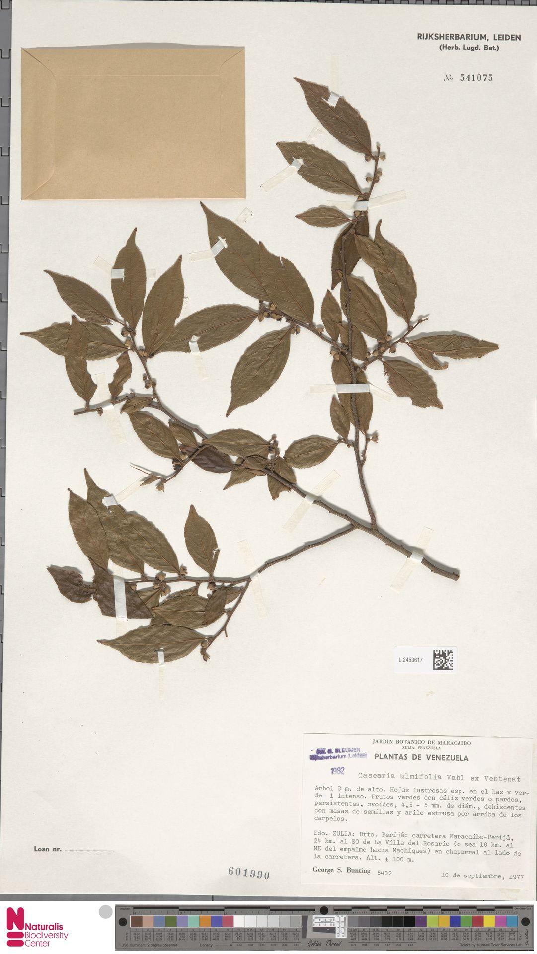 L.2453617 | Casearia ulmifolia Vahl ex Vent.