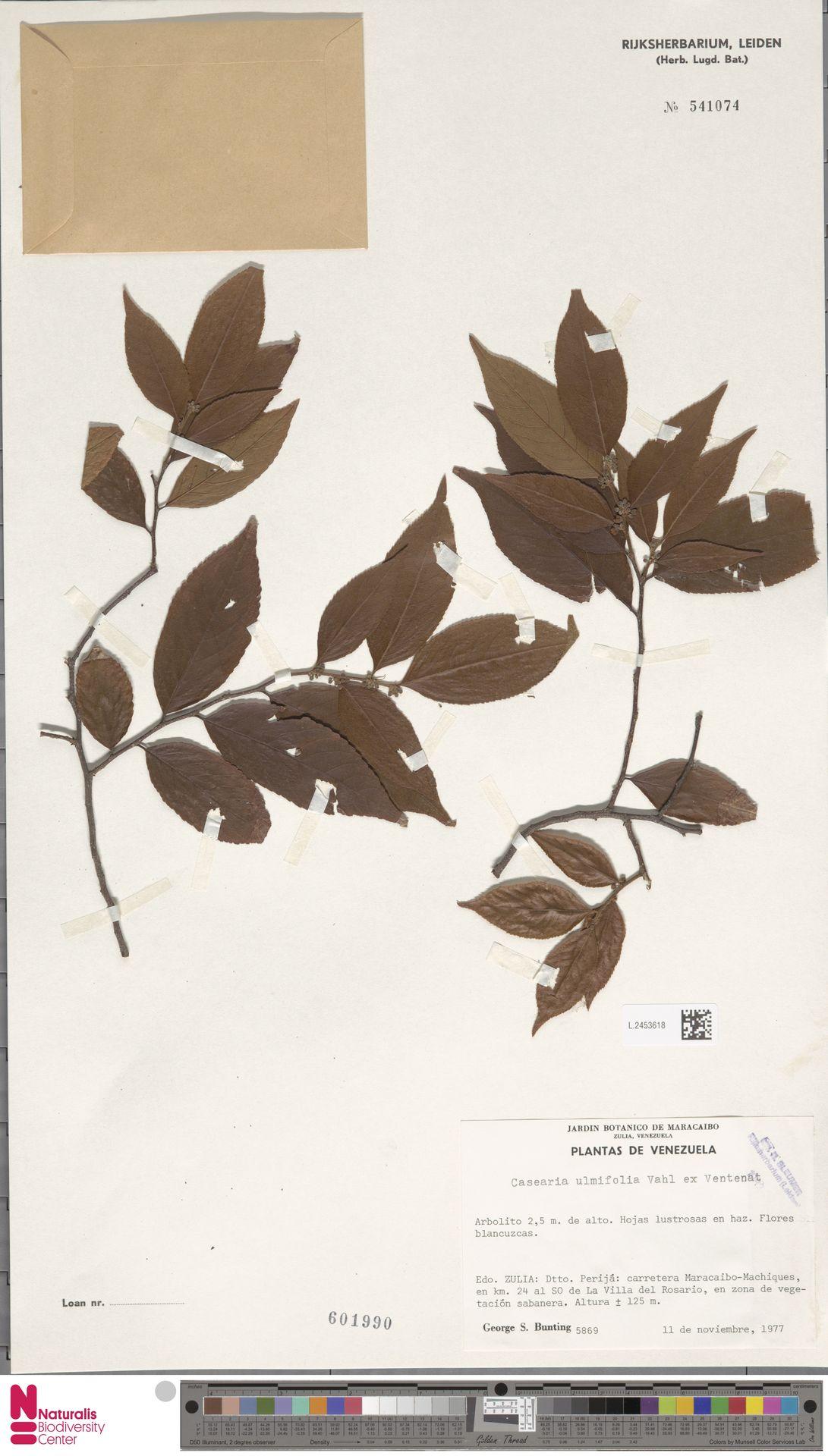 L.2453618 | Casearia ulmifolia Vahl ex Vent.