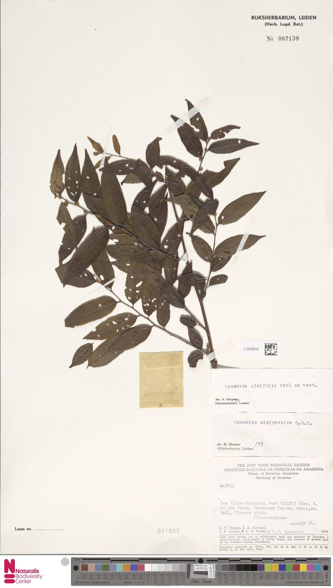 L.2453619 | Casearia ulmifolia Vahl ex Vent.